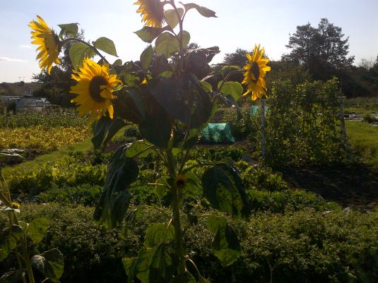 Sunflowers, view from the bottom of the allotments