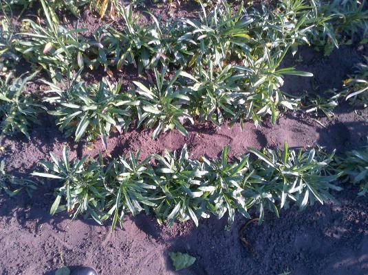 Wallflowers grown from seed