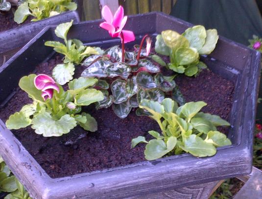 I then planted all 3 with cyclamen and winter pansies.