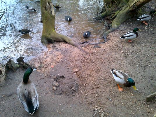 Ducks Feeding