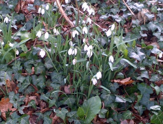Snowdrops push through the toughest of ground. And even though they appear delicate they show their strength
