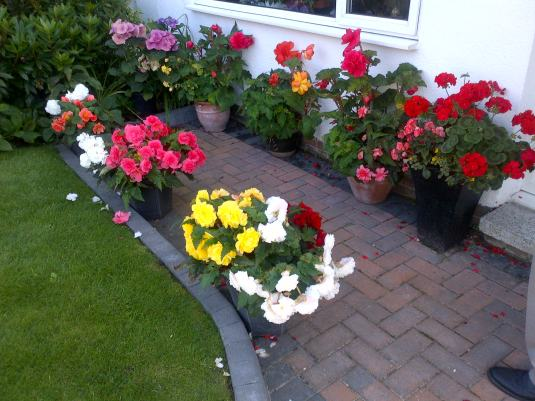 Begonias in tubs large and small in our front garden.