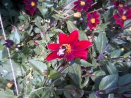 The Bees are always on this little single petal dahlia