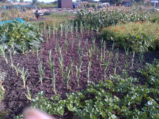 Leeks, Courgettes top left, Celiac bottom right and sweetcorn top right