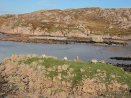 Sheep grazing on the edge of ocean bay on Isle of Mull