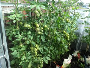 Tomatoes in the allotment green house