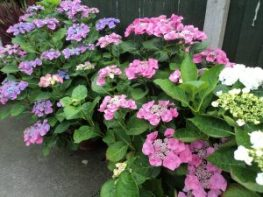 Hydrangea's along our fence at our home garden