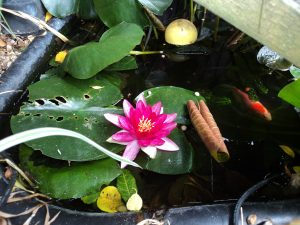Water Lily in small fish pond in the garden