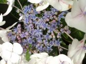 Hydrangea white and blue centre