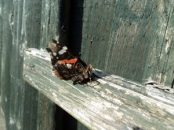 Red Admiral on fence