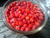 Raspberries picked and soaking to be cleaned