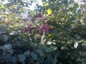 Eldeerberries