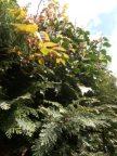 Ivy and Climbing Rose growing through my Conifir Tree