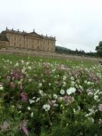 Chatsworth House RHS Flower Show June 2018 Cosmos