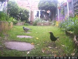Blackbird and pigeon.